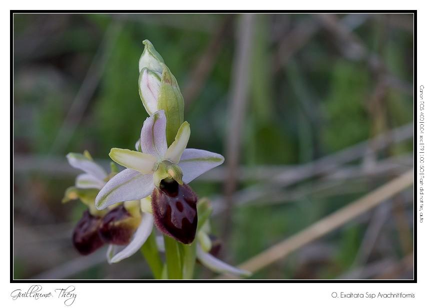 O. Exaltata Arachnitiformis IMG_0339-1