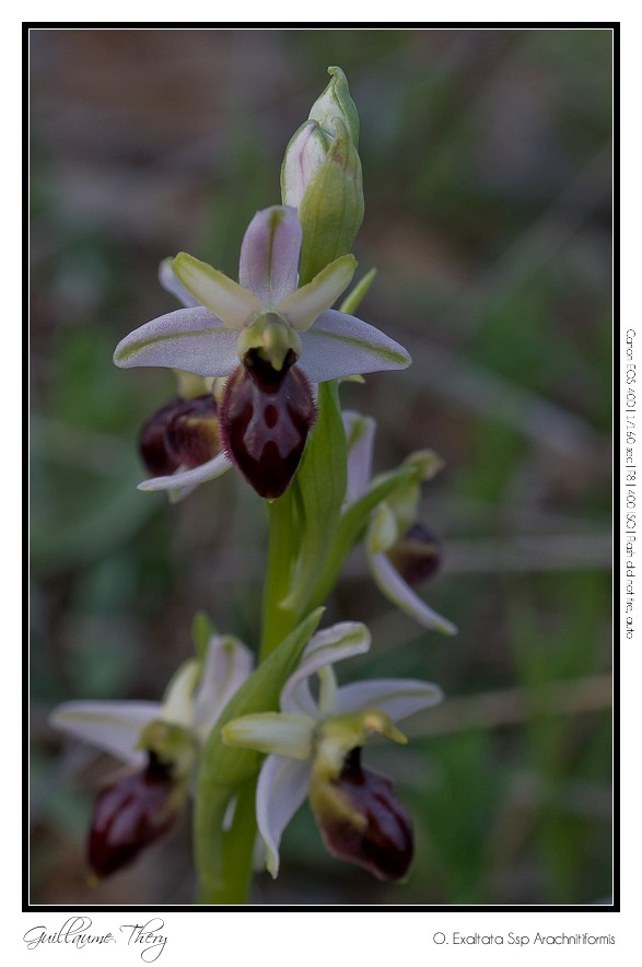 O. Exaltata Arachnitiformis IMG_0342-3